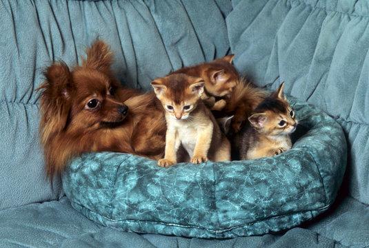 chien spitz nain et chatons de race somali