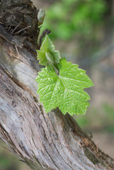 Young grapes in wineyards