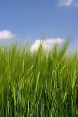 Getreidefeld im Frühling bei blauem Himmel Hochformat
