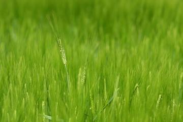 Getreidefeld im Frühling