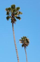 Royal palm-trees