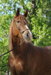 Portrait of a red mare