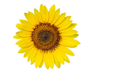 Pollen grains in a sunflower isolated on white