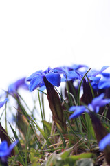 Blossoming blue gentiana