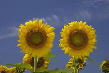 2本の黄色いひまわりと青空