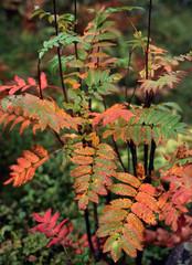 Leaves of rowan