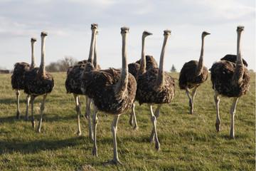 Vogel Strauss Herde