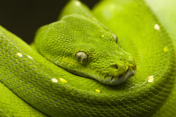 green tree python dark