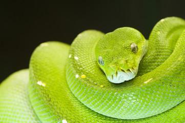 green tree python eyes