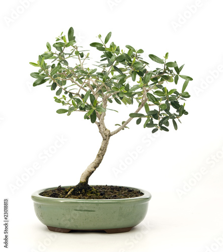 Bonsai olivo immagini e fotografie royalty free su for Olivo bonsai prezzo