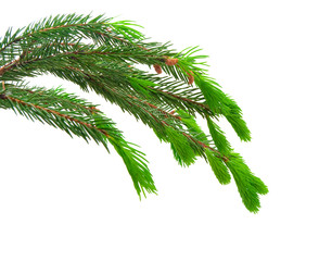 the green spruce branches on a white background