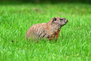 Fotoväggar - Groundhog (Marmota monax)