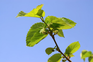 mulberry twigs
