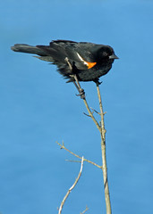 Red Winged Blackbird Perched