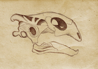 Tortoise's Skull Illustration (from late 1800)