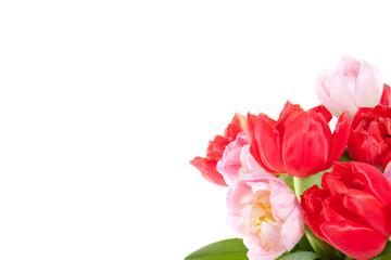 colorful red and pink tulips isolated over white