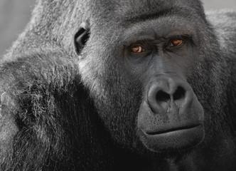 Gorilla Siberrücken