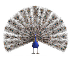 gorgeous male peacock. 3D rendering with clipping path and shado