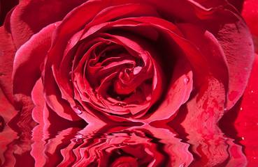Rose rouge avec reflets