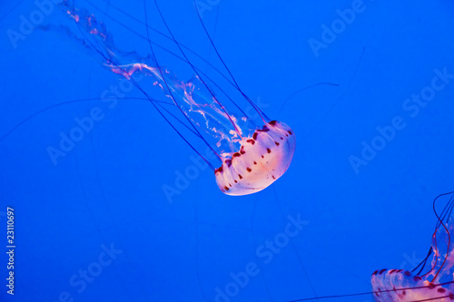 Wall mural Jelly fishes in the ocean