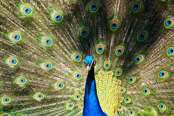 Bright colorful peacock