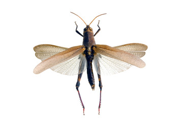 Common Field Grasshopper, Chorthippus brunneus