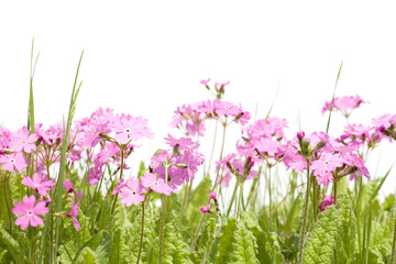 Wildflowers primula and grass isolated on white. Spring.