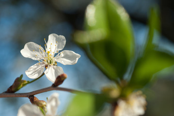 spring blossom of apple tree against blue sky