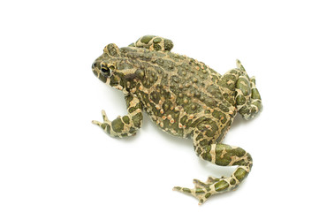 Big toad on white background