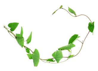 liana plant - bindweed