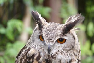 eagle owl portrait