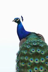 Photo sur Toile Paon paon bleu,pavo cristatus