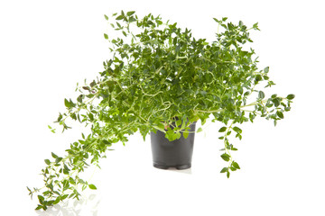 fresh thyme plant over white background