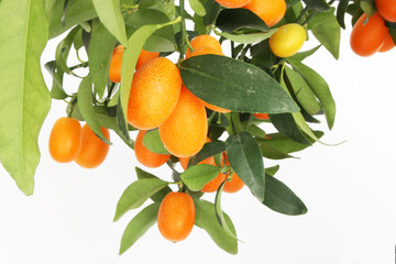 kumquat tree branch