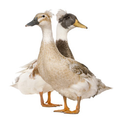 Male and Female Crested Duck, 3 years old