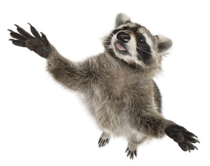 Raccoon, 2 years old, reaching up in front of white background