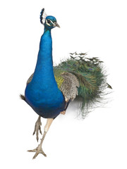 Male Indian Peafowl walking in front of white background