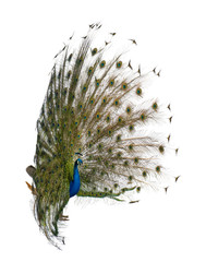 Side view of Male Indian Peafowl displaying tail feathers