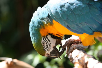 Poster Blue and gold macaw biting its feet