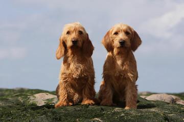 deux bassets fauve de Bretagne assis de face