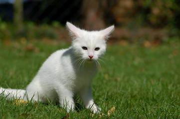 Weißes Katzenkind