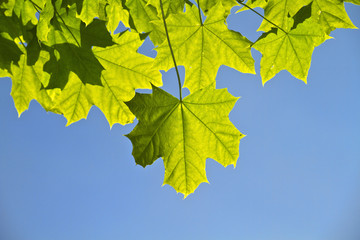 young leaves, backlight