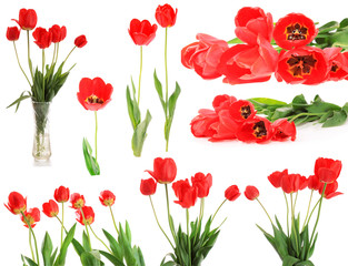set red tulips, isolated.