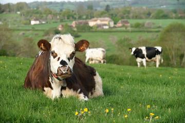 Poster de jardin Vache animal ferme vache 28