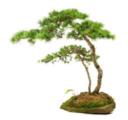 Bonsai - Lärche