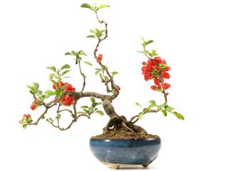 Bonsai mit Blüte
