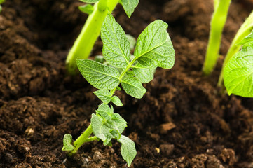 growing potato. baby plant in soil