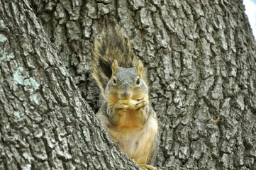 Squirrel eating a peanut in a tree