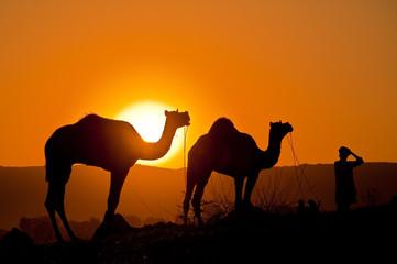 Photo sur Aluminium Chameau Camels at sunset
