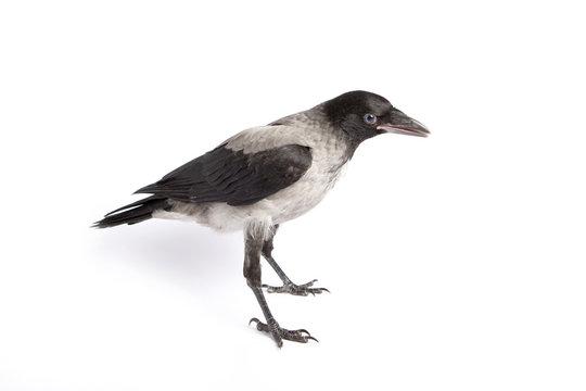 Hooded Crow profile (Corvus cornix)